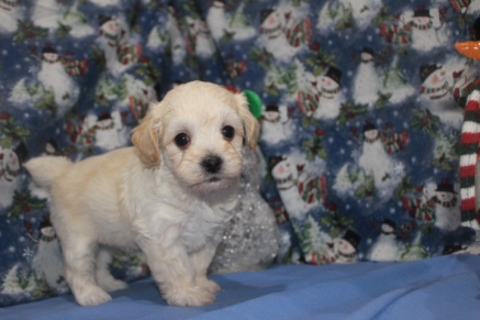 Whisper Male CKC Havapoo $2000 Ready 2/12 SOLD MY NEW HOME JACKSONVILLE, FL 5W3D 1.13 LBS