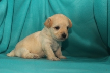 Whisper Male CKC Havapoo $1750 Ready 12/5 AVAILABLE 3W2D 1.3LBS