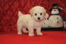 Whisper Male CKC Havapoo $1750 Ready 12/5 SOLD MY NEW HOME HOUSTON, TX 8W2D 2.11LBS