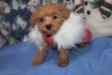 Autumn Female CKC Yorkipoo $2000 READY 11/25 SOLD MY NEW HOME JACKSONVILLE, FL