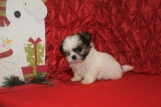 Elf Male CKC Imperial Shih Tzu $1750 READY 11/14 SOLD MY NEW HOME