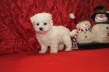 Hooch Male CKC Maltese $1750 Ready 12/12 SOLD MY NEW HOME ORLANDO, FL