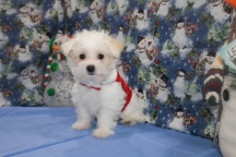 Mac Male CKC Morkipoo $1750 BUT WAIT SPECIAL $1500 Ready 11/11 AVAILABLE