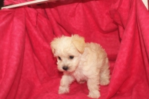 Mandy Female CKC Morkipoo $1750 Ready 11/11 SOLD MY NEW HOME ST AUGUSTINE, FL