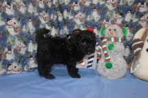 Sammie Male CKC Malshipoo $1750 SPECIAL $1500 Ready 11/25 SOLD MY NEW HOME TX