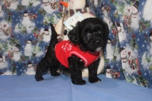 Wiggles Female CKC Havapoo $1750 Ready 12/5 SOLD MY NEW HOME JACKSONVILLE, FL