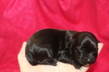 Wiggles Female CKC Havapoo $1750 Ready 12/5 AVAILABLE 3 days 7 oz