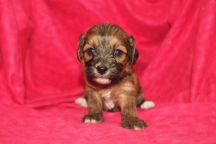 Windy Female CKC Havapoo $1750 Ready 12/5 HAS DEPOSIT MY NEW HOME ORMOND BEACH, FL 3W2D 1.3lbs