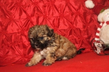 Dasher Male CKC Havashu $2000 Ready 12/24 SOLD MY NEW HOME JACKSONVILLE, FL