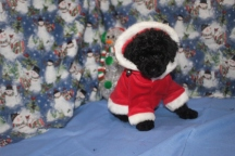 Ladybug Female CKC Poodle $1750 Ready 11/18 SOLD MY NEW HOME JACKSONVILLE, FL