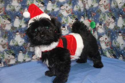 Luke Male CKC Havanese $1800 BUT WAIT AFTER CHRISTMAS SPECIAL $999 Ready 11/4 SOLD MY NEW HOME DESTIN, FL