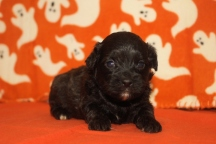 Scooter Male CKC Malshipoo $1750 Ready 11/25 AVAILABLE