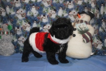 Scooter Male CKC Malshipoo $1750 BUT WAIT SPECIAL $1500 Ready 11/25 AVAILABLE