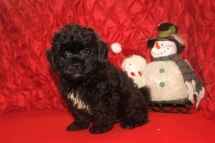Scooter Male CKC Malshipoo $1750 BUT WAIT CHRISTMAS SPECIAL $999 Ready 11/25 HAS DEPOSIT MY NEW HOME WESTCLIFFE, CO