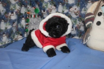 Sadie Female CKC Malshipoo $1750 BUT WAIT SPECIAL $1500 Ready 11/25 AVAILABLE