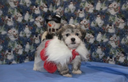 Sage Female CKC Havanese $1800 Ready 11/25 SOLD MY NEW HOME JACKSONVILLE, FL