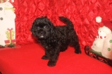 Sammie Male CKC Malshipoo $1750 BUT CHRISTMAS SPECIAL $1500 Ready 11/25 SOLD MY NEW HOME TX