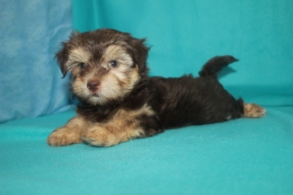 Bo Male CKC Havanese $2000 but wait overbite discounted $1800 Ready 11/4 SOLD MY NEW HOME MELBOURNE, FL