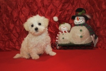 Flurry Male CKC Maltipoo $1750 Ready 12/10 SOLD MY NEW HOME TALLAHASSEE, FL