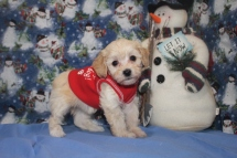 Willow Female CKC Havapoo $1750 Ready 12/5 SOLD MY NEW HOME PALM BAY, FL