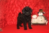 Lewie Male CKC Poodle $1750 BUT WAIT SPECIAL $1500 Ready 11/18 SOLD MY NEW HOME ORANGE PARK, FL
