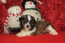 Prancer Male CKC Shih Tzu $1750 Ready 12/24 HAS DEPOSIT MY NEW HOME TAMPA, FL