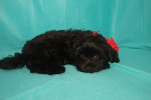 Riley Male CKC Shihpoo $1750 BUT WAIT CHRISTMAS SALE NOW $999 Ready NOW WITH ALL HIS SHOTS AVAILABLE