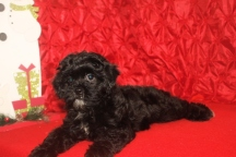Sadie Female CKC Malshipoo $1750 BUT CHRISTMAS SPECIAL $1250 Ready 11/25 SOLD MY NEW HOME JACKSONVILLE, FL