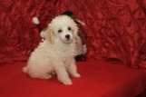 Snowball Male CKC Poodle $1750 Ready 12/12 SOLD MY NEW HOME JACKSONVILLE, FL