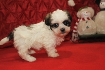 Christmas Female CKC Havashu $2000 Ready 12 /24 SOLD MY NEW HOME MIAMI, FL