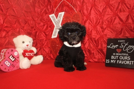Abe Male CKC Malshipoo $1750 Ready 1/20 BUT WAIT FEB SPECIAL $1250 Ready 1/20 SOLD MY NEW HOME PALATKA, FL