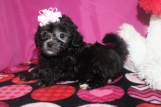 Asia Female CKC Malshipoo $1750 BUT WAIT JAN SPECIAL $1500 Ready 1/20 AVAILABLE