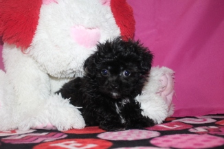 Marco Male CKC Yorkipoo $1750 Ready 1/21 AVAILABLE