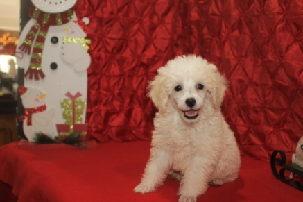 Snowball Male CKC Poodle $1750 BUT WAIT CHRISTMAS SPECIAL $1500 READY NOW