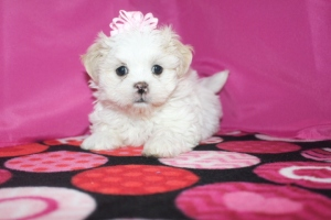 Female CKC Havashu $1750 Ready 1/22/17 AVAILABLE