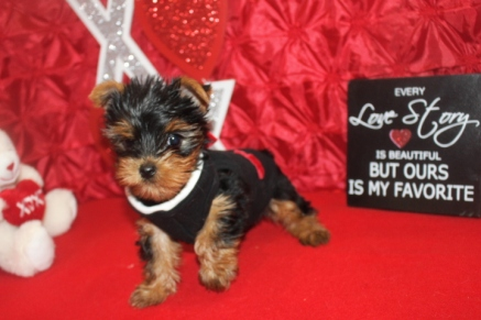 Stormy Male TCup CKC Yorkie $2000 Ready 1/27/17 SOLD MY NEW HOME PORT ST LUCIE, FL