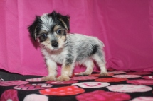 Tick Tock Male CKC Morkie $1750 Ready 1/16 SOLD MY NEW HOME SC