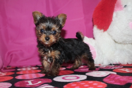 Wall-e Male T-Cup CKC Yorkie$2000 Ready 1/19 SOLD MY NEW HOME PATTERSON, GA