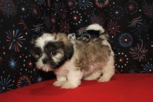 Kringle Male CKC Shih Tzu $1750 Ready 12/24 SOLD MY NEW HOME JACKSONVILLE, FL