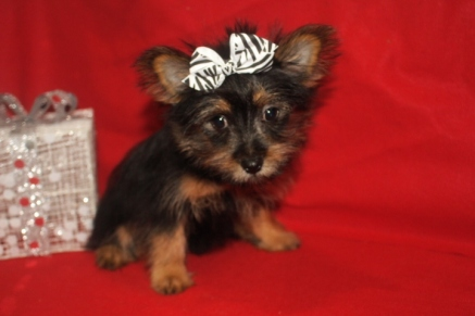 Pippy Female Yorkipoo $1750 BUT WAIT AFTER CHRISTMAS SPECIAL $750 Ready 11/24 HAS DEPOSIT MY NEW HOME JACKSONVILLE, FL