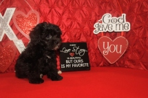 Abe Male CKC Malshipoo $1750 BUT WAIT FEB SPECIAL $1250 Ready 1/20 SOLD MY NEW HOME PALATKA, FL