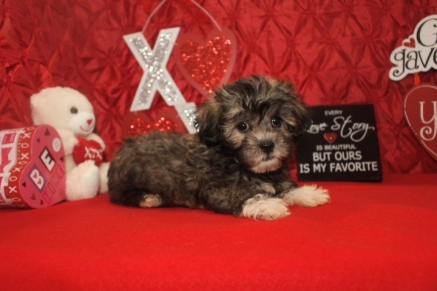 Ace Male CKC Malshipoo $1750 Ready 1/20 SOLD MY NEW HOME JAX, FL