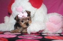 Cadbury Female CKC Morkie $2000 Ready 1/16 SOLD MY NEW HOME MIAMI, FL