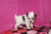 Champagne Female CKC Morkie $2000 Ready 1/16 SOLD MY NEW HOME MIDDLEBURG, FL