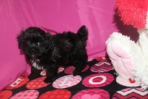 Maximus Male CKC Yorkipoo $1750 Ready 1/21 AVAILABLE