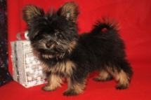 Tiny Male CKC Yorkipom $2500 BUT WAIT AFTER CHRISTMAS SPECIAL $1500 Ready 11/24 SOLD MY NEW HOME DUBLIN, GA