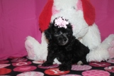 Abby Female CKC Malshipoo $1750 Ready 1/20 AVAILABLE