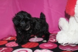 Abe Male CKC Malshipoo $1750 Ready 1/20 AVAILABLE