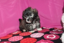 Ace Male CKC Malshipoo $1750 Ready 1/20 AVAILABLE