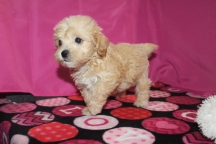 Alvin Male CKC Malshipoo $1750 Ready 1/20 SOLD MY NEW HOME JACKSONVILLE FL